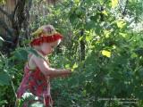 В поисках самой вкусной малины