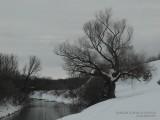 Старая ива на берегу Казанки