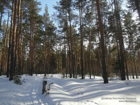 Лыжня в сосновом лесу