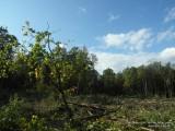 Фото рубка леса под трассу в Одинцово