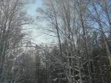 Березовая роща вокруг лыжни
