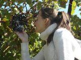 Виноградник в Алексино