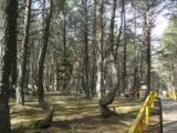 В танцующем лесу на Куршской косе