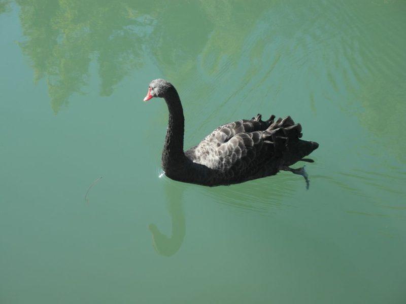 Такие лебеди плавают в пруду