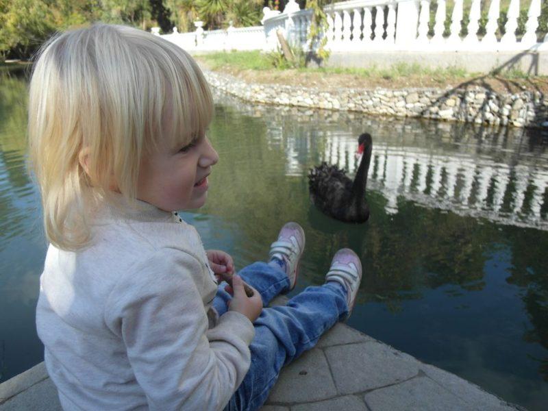Лебеди совсем не боятся