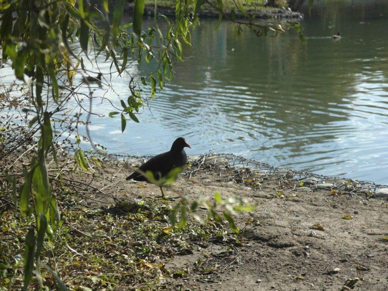 Какая-то птичка на пруду в нижней части парка
