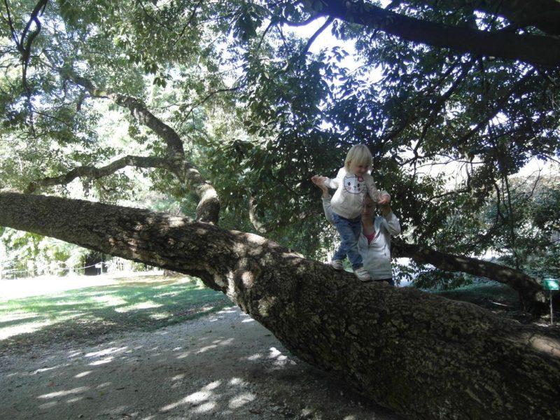 Большое дерево - пробковый дуб
